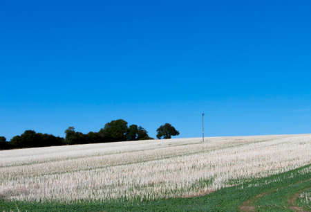 Foto de Crop stubble after harvest left on farmland field in rural Hampshire set against a clear blue sky - Imagen libre de derechos