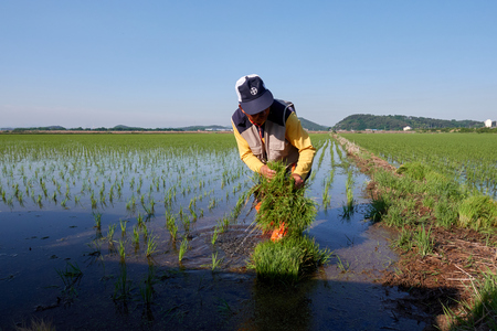 Photo pour Farmer are planting rice in field - image libre de droit