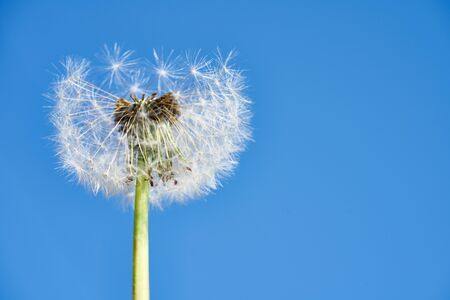 Photo for Blue sky and dandelion spores - Royalty Free Image