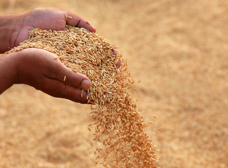 Photo pour Hand holding golden paddy seeds in Indian subcontinent - image libre de droit