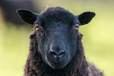 Photo pour Face of a black sheep ewe looking directly at camera in the Spring. Brecon Beacons, Wales, March - image libre de droit