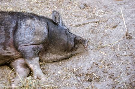 Big black pig on the farm.