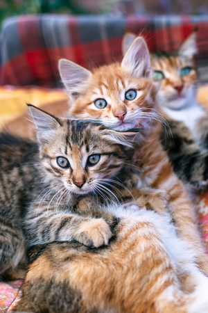 Photo for Two kittens and their mother on a blanket. - Royalty Free Image