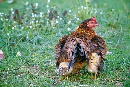 Photo pour Mother hen hiding young chicks under her wings: Mother hen and young chicks in the farm.  Young chicks follow their mother hen while stay hidden under her wings. - image libre de droit