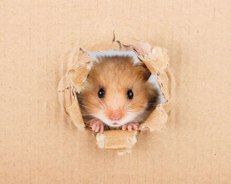 Photo for Little hamster looking up in cardboard side torn hole - Royalty Free Image