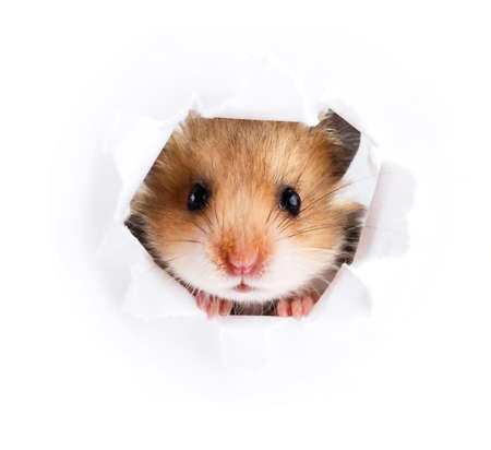 Photo for Little hamster looking up in paper side torn hole - Royalty Free Image