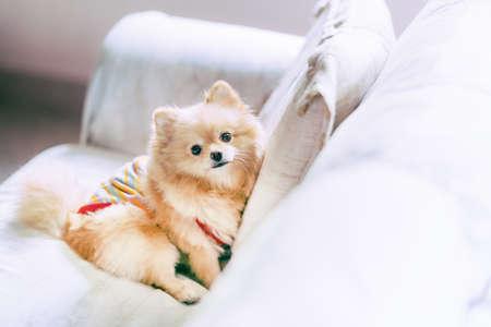 Photo pour Cute pomeranian dog resting on sofa, happy pet concept, with copy space - image libre de droit