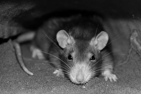 Photo pour gray rat artful intelligent look accent on the head with long mustaches and shady eyes in gray tones sepia trimming of the trunk - image libre de droit