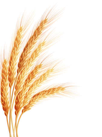 Illustration for Wheat isolated on white. - Royalty Free Image