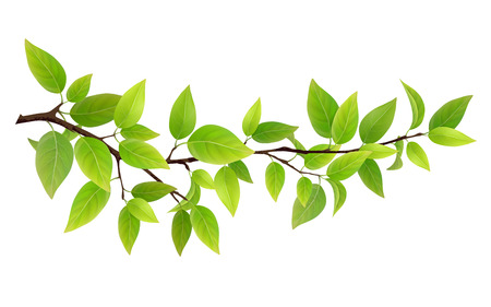 Illustration pour Small tree branch with green leaves. Detailed plant, isolated on white background. - image libre de droit