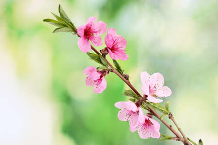 Photo for beautiful pink peach blossom on green background - Royalty Free Image