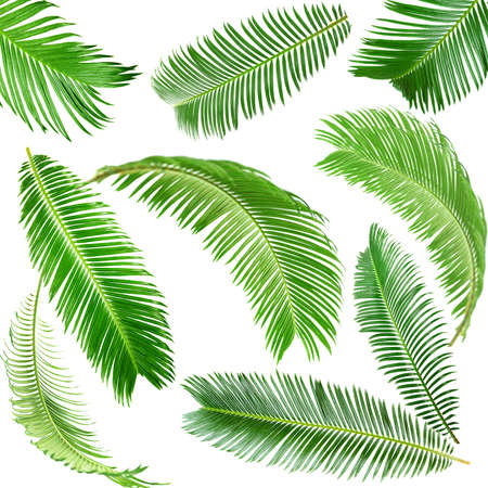 Photo pour Green palm leaves isolated on white - image libre de droit