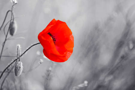 Photo for Red poppy flower for Remembrance Day / Sunday - Royalty Free Image