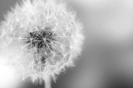 Foto de Beautiful dandelion with seeds, close-up - Imagen libre de derechos