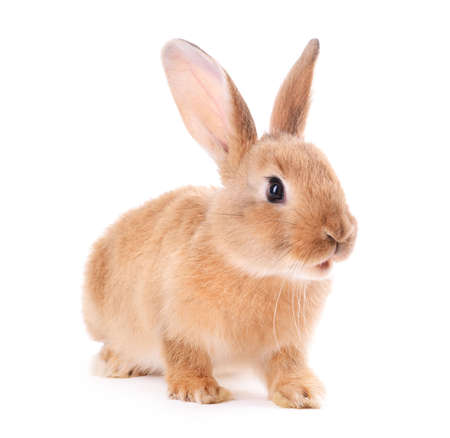 Photo for Little rabbit isolated on white - Royalty Free Image