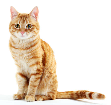 Photo for Portrait of red cat isolated on white - Royalty Free Image