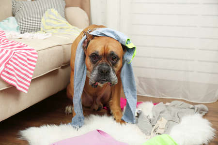Photo for Dog demolishes clothes in messy room - Royalty Free Image