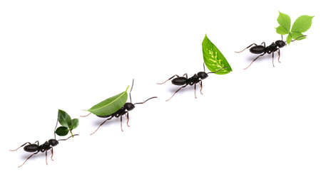 Photo for Small ants carrying green leaves, isolated on white. - Royalty Free Image