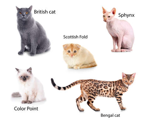 Beautiful cats with names of breeds on white background.