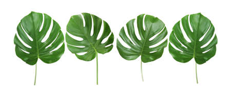 Photo for Green tropical leaves on white background - Royalty Free Image