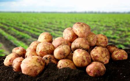 Foto für Fresh potatoes on ground and field with plants on background - Lizenzfreies Bild