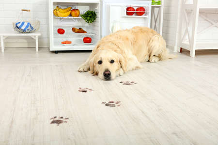 Photo for Labrador near fridge and muddy paw prints on wooden floor in kitchen - Royalty Free Image