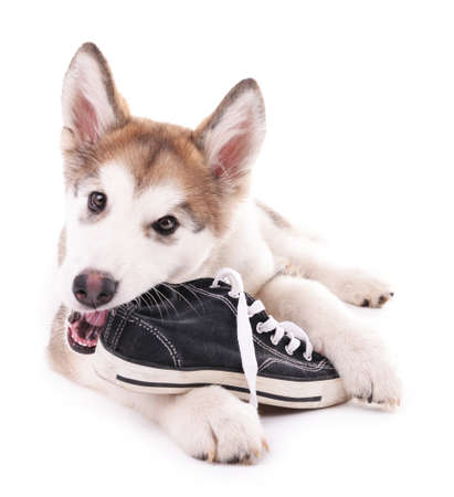 Photo for Cute Malamute puppy chewing gumshoes isolated on white - Royalty Free Image