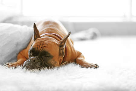 Photo for Boxer dog lying on the floor at home - Royalty Free Image