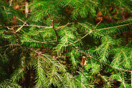 Photo for Fir tree branches, closeup - Royalty Free Image