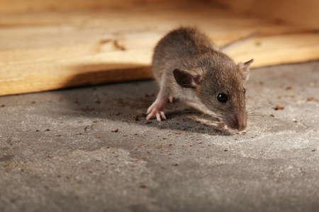 Foto de Cute little rat sniffing crumbs - Imagen libre de derechos