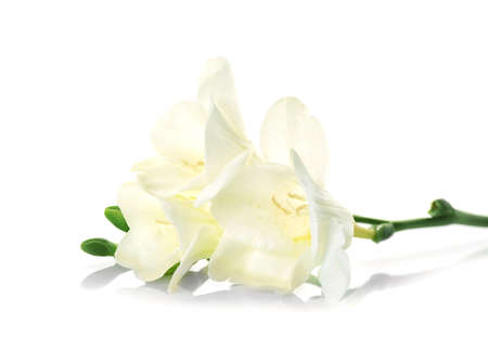 Photo for Beautiful blooming freesia on white background - Royalty Free Image