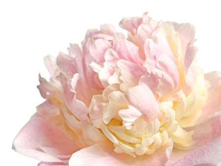 Photo for Beautiful peony flower on light background, closeup - Royalty Free Image