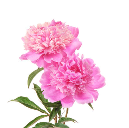 Photo for Beautiful peony flowers on white background - Royalty Free Image