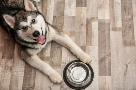 Photo pour Cute Alaskan Malamute dog with bowl lying on floor, top view - image libre de droit