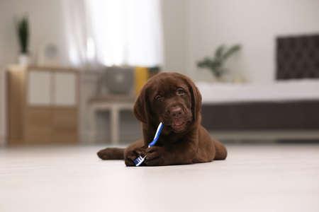 Photo pour Adorable chocolate labrador retriever with toothbrush on floor indoors - image libre de droit