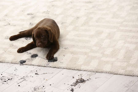 Photo for Cute dog leaving muddy paw prints on carpet - Royalty Free Image
