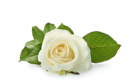 Photo for Beautiful fresh rose on white background. Funeral symbol - Royalty Free Image