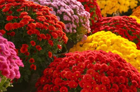 Photo pour View of fresh beautiful colorful chrysanthemum flowers - image libre de droit