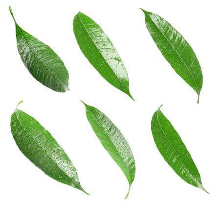 Photo pour Composition of fresh mango leaves with water drops on white background, top view - image libre de droit