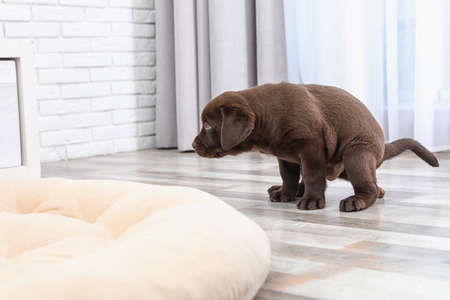 Photo for Chocolate Labrador Retriever puppy pooping on floor indoors - Royalty Free Image