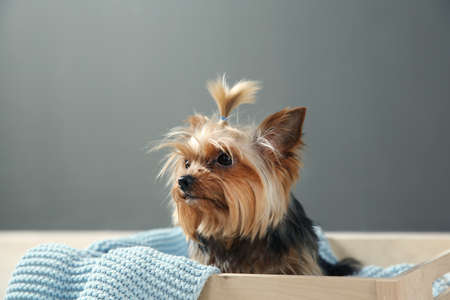 Photo pour Yorkshire terrier in wooden crate against grey wall, space for text. Happy dog - image libre de droit