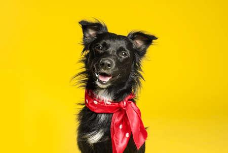 Photo pour Cute black dog with neckerchief on yellow background - image libre de droit