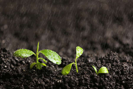 Photo for Fresh seedlings in fertile soil under rain, space for text - Royalty Free Image