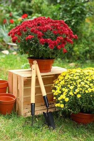 Foto de Beautiful fresh chrysanthemum flowers and gardening tools in garden - Imagen libre de derechos