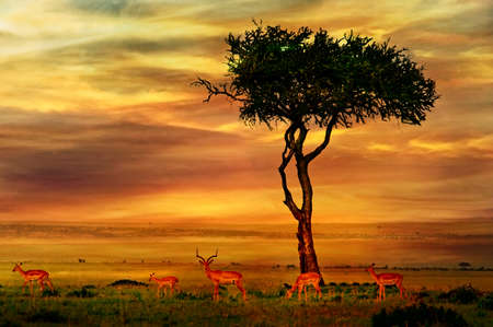 Photo for Impala at African Sunset Background - Royalty Free Image