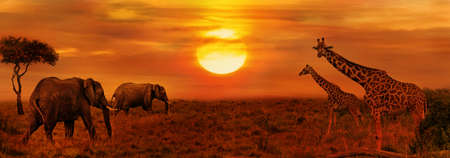 Photo for Elephants and Giraffes at African Sunset Background - Royalty Free Image