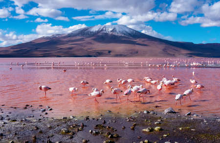 Photo pour Flamingos in Laguna Colorada , Uyuni, Bolivia - image libre de droit