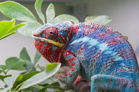 Foto de Panther chameleon  Furcifer pardalis  in a terrarium - Imagen libre de derechos