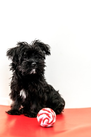 A cute black dog Morkie or Yorktese or Malkie, puppy the age of 4 months, on red sofa play with ball. Breed from Maltese and Yorkshire Terrier dogs. Isolated on white background. Vertical.
