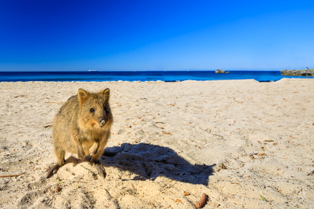 Foto de A cute Quokka on the Basin Beach at Rottnest Island in Western Australia. Quokka is considered the happiest animal in the world. Summer season. Blue sky with copy space. - Imagen libre de derechos